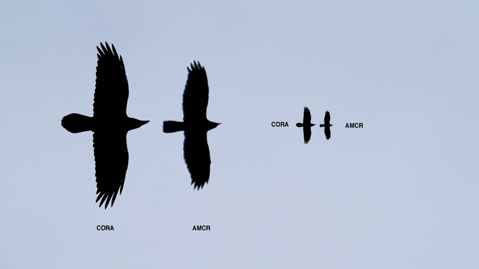 Common Raven and American Crow Flying