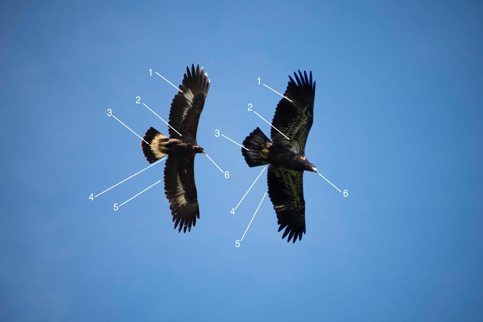 Photo 1: Immature Golden Eagle (left) in flight, compared to an immature Bald Eagle (right) in flight.