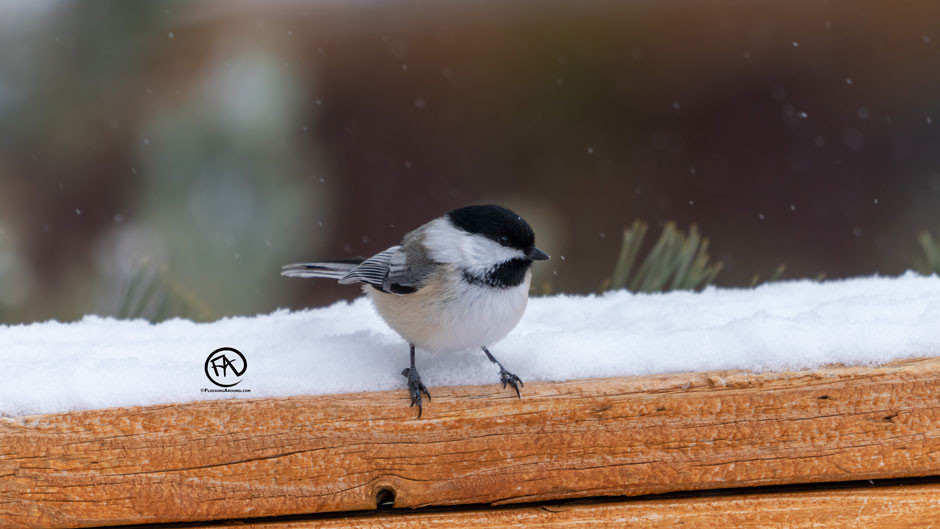 Black-capped Chickadee below a feeder