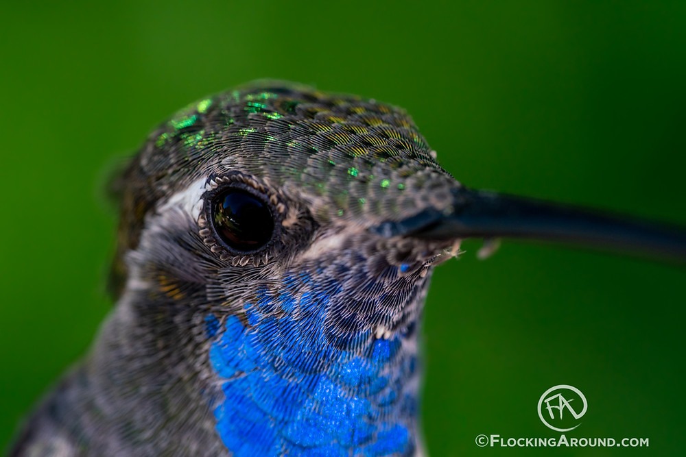 Blue-throated Mountain-gem, formerly known as Blue-throated Hummingbird
