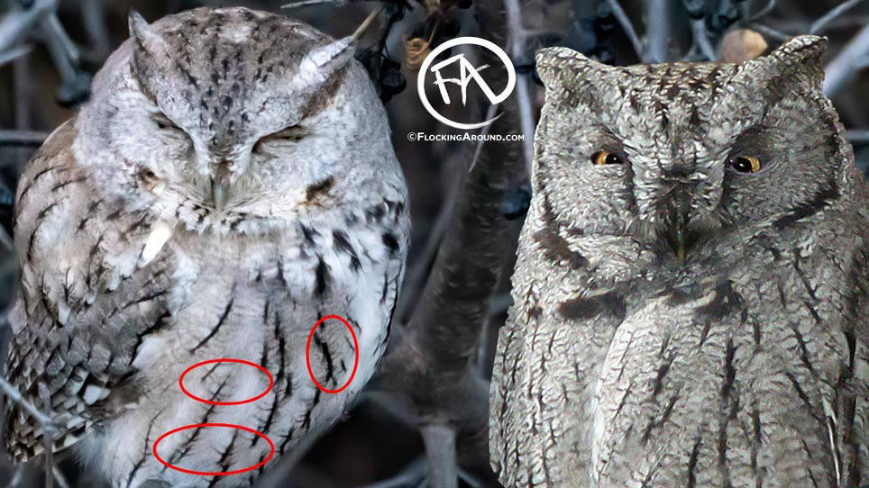 Eastern Screech Owl (left) with a paler ventral area, less dense horizontal barring, and thicker vertical streaking.