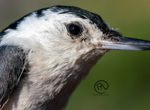 Nuthatches of North America