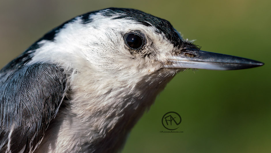 White-breasted Nuthatch Female (Rocky Mountains)