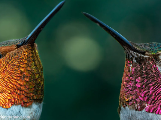 Rufous Hummingbird vs Broad-tailed Hummingbird
