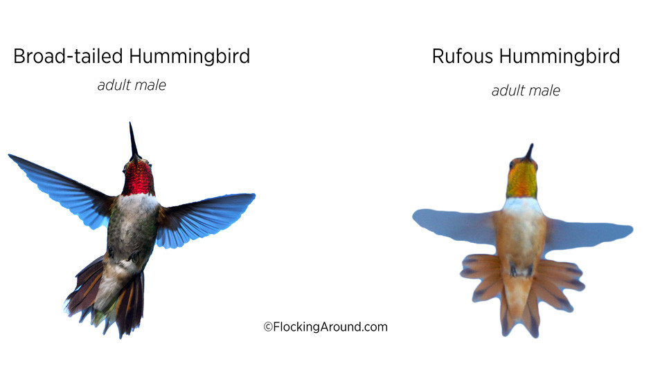 Adult male Broad-tailed Hummingbird vs adult male Rufous Hummingbird