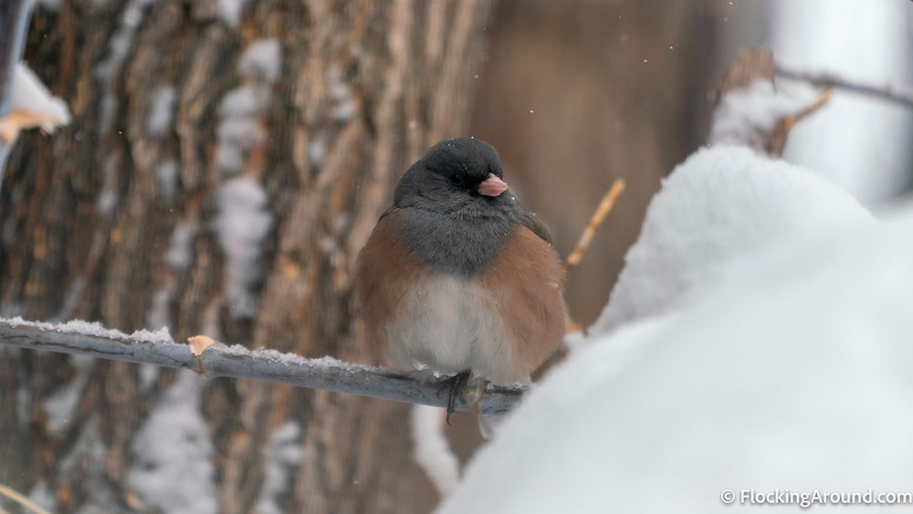 A Pink-sided Junco sits on a branch, huddled for warmth.