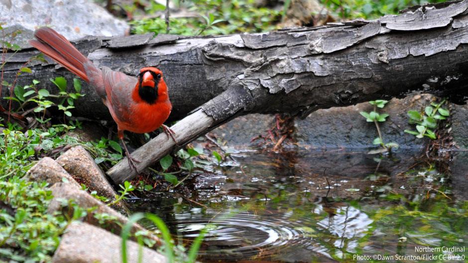 Northern Cardinal enjoying a natural birdbath.