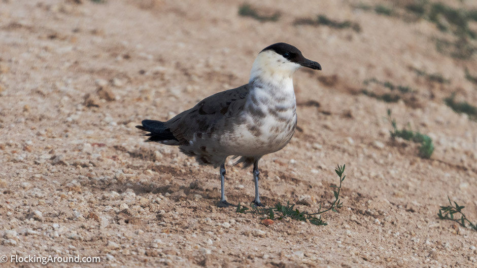 Long-tailed Jaeger in Wyoming