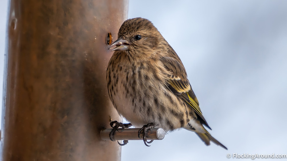 Pine Siskins are regular visitors of thistle or nyjer feeders.