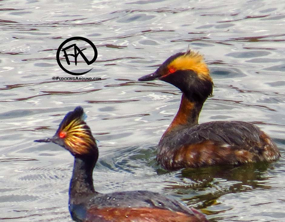 The Eared Grebe (bottom) shows the stereotypical ear-shaped plumicorn and thin bill. The crest has a significant peak.