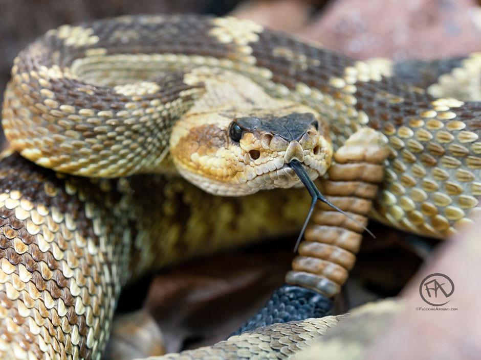 Black-tailed Rattlesnake ready to strike