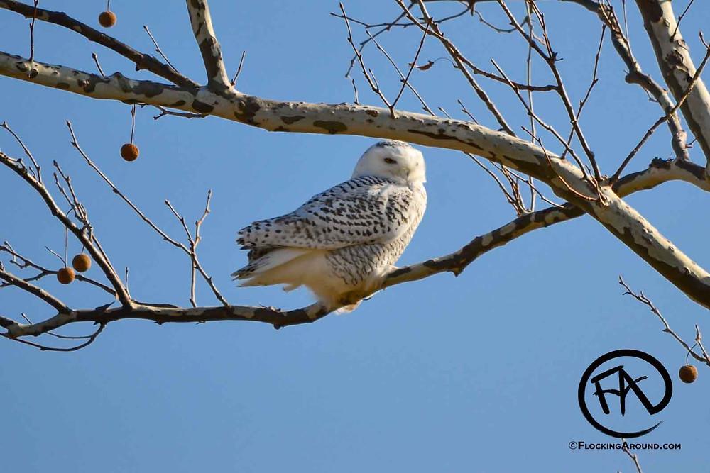 Snowy Owl in a Tree