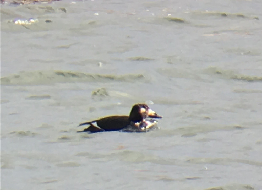 Possible Stejneger's Scoter in Wyoming
