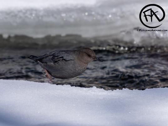 Birding in Lamar Valley in Yellowstone National Park
