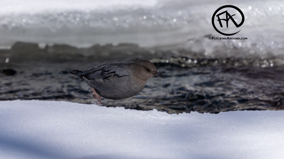American Dipper in Yellowstone National Park