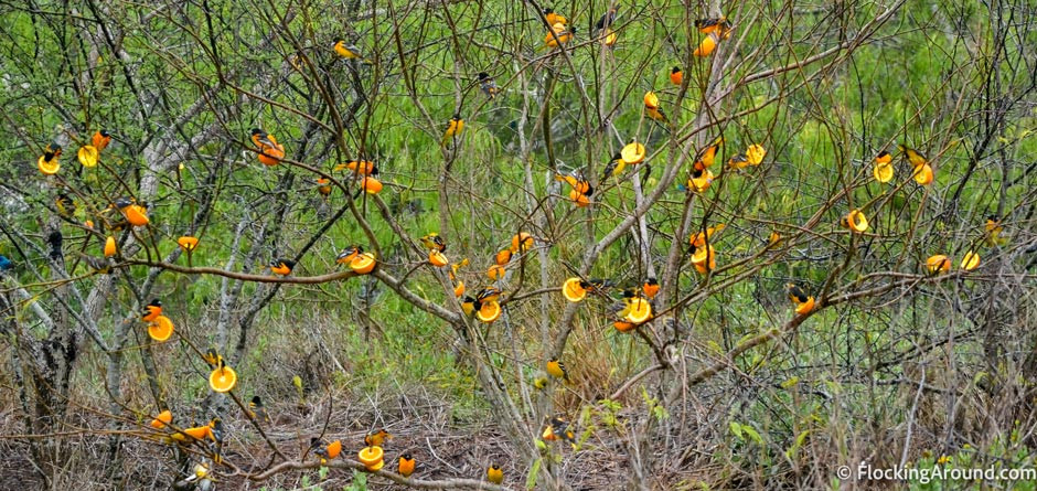 Thousands of orioles were attempting to find food. Birding center volunteers put out hundreds of oranges to help feed them.