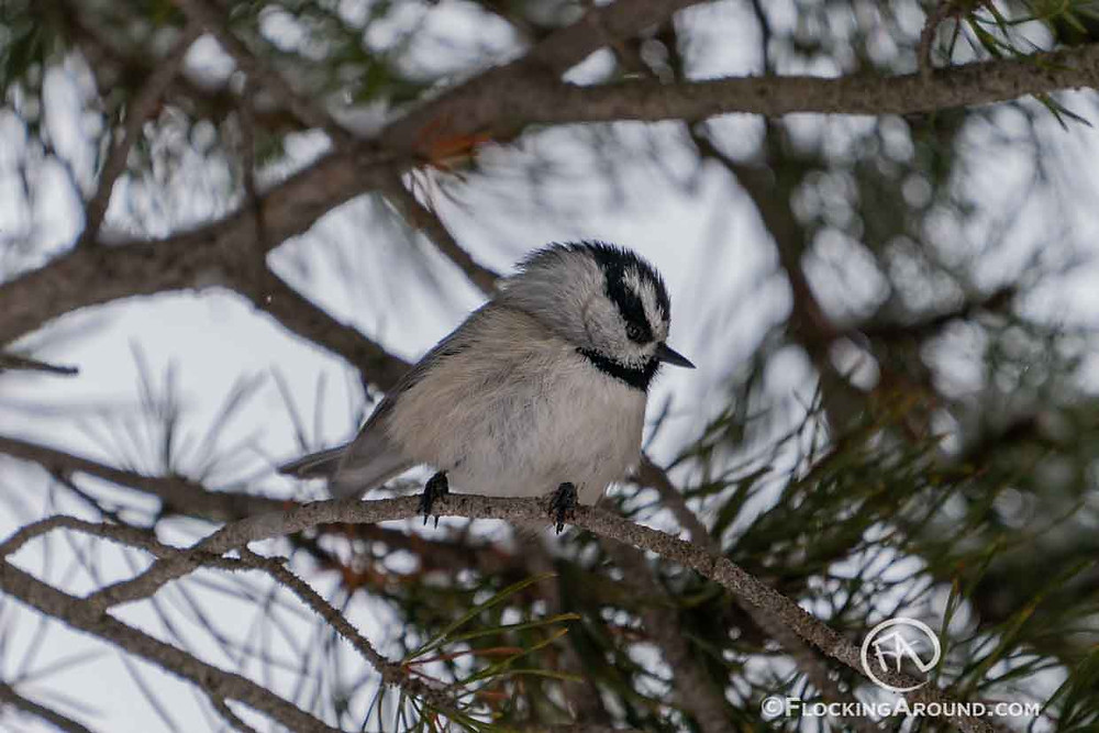 Mountain Chickadee in Wyoming