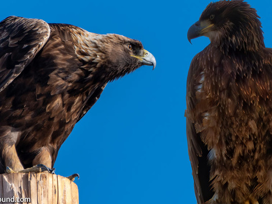 Bald Eagle or Golden Eagle - A Guide to Eagle Identification