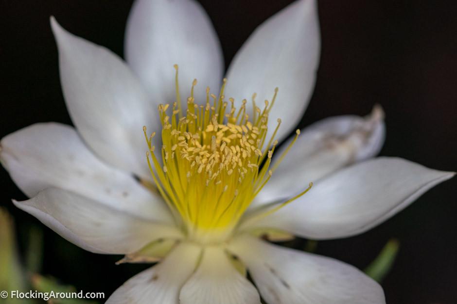10-petal blazing star blooming