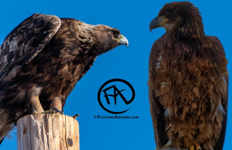 An immature Bald Eagle and an immature Golden Eagle are shown together for easy comparison.