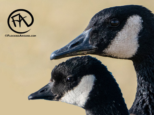 Canada Goose vs Cackling Goose - White-Cheeked Goose ID