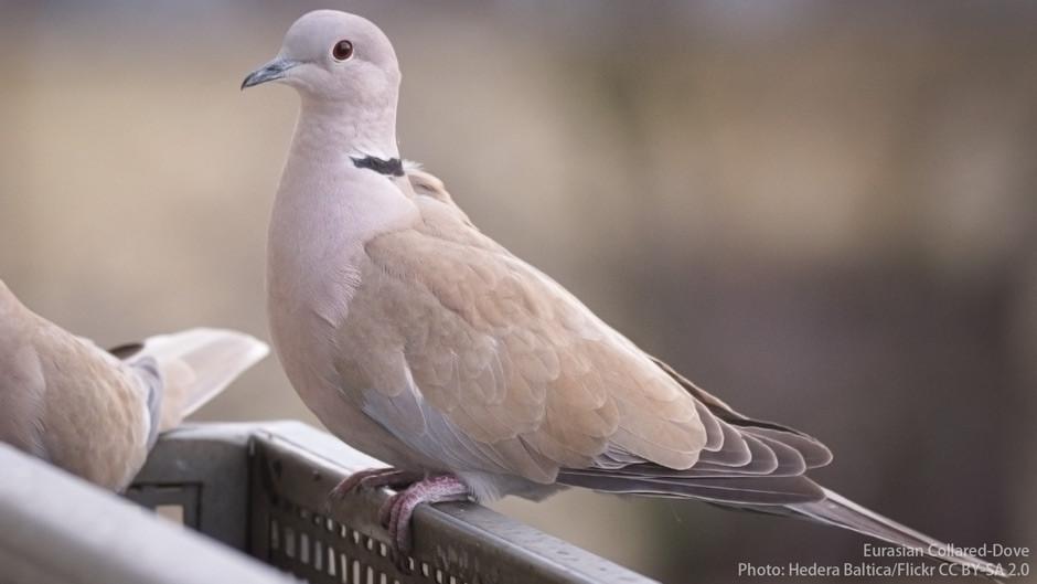 Eurasian Collared-Dove, the big white dove