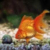 Goldfish 1200.jpg