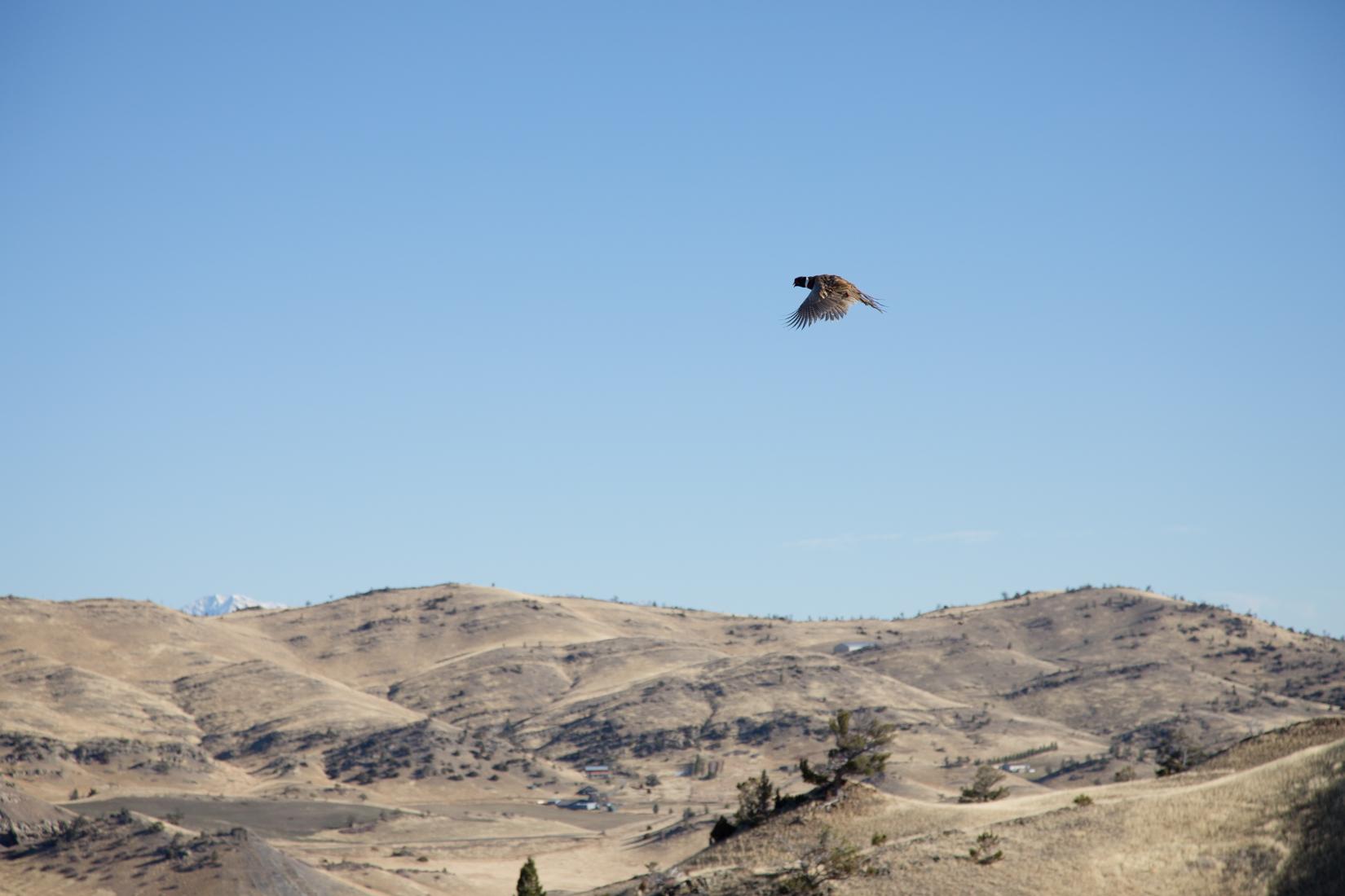 High flying pheasants Montana