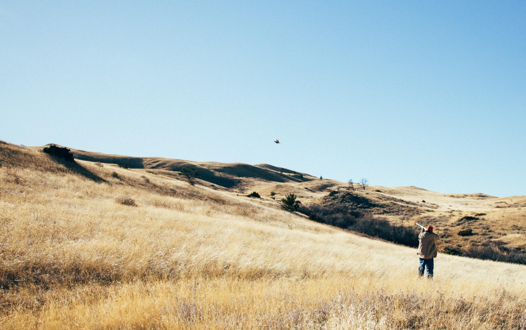 Montana Pheasants