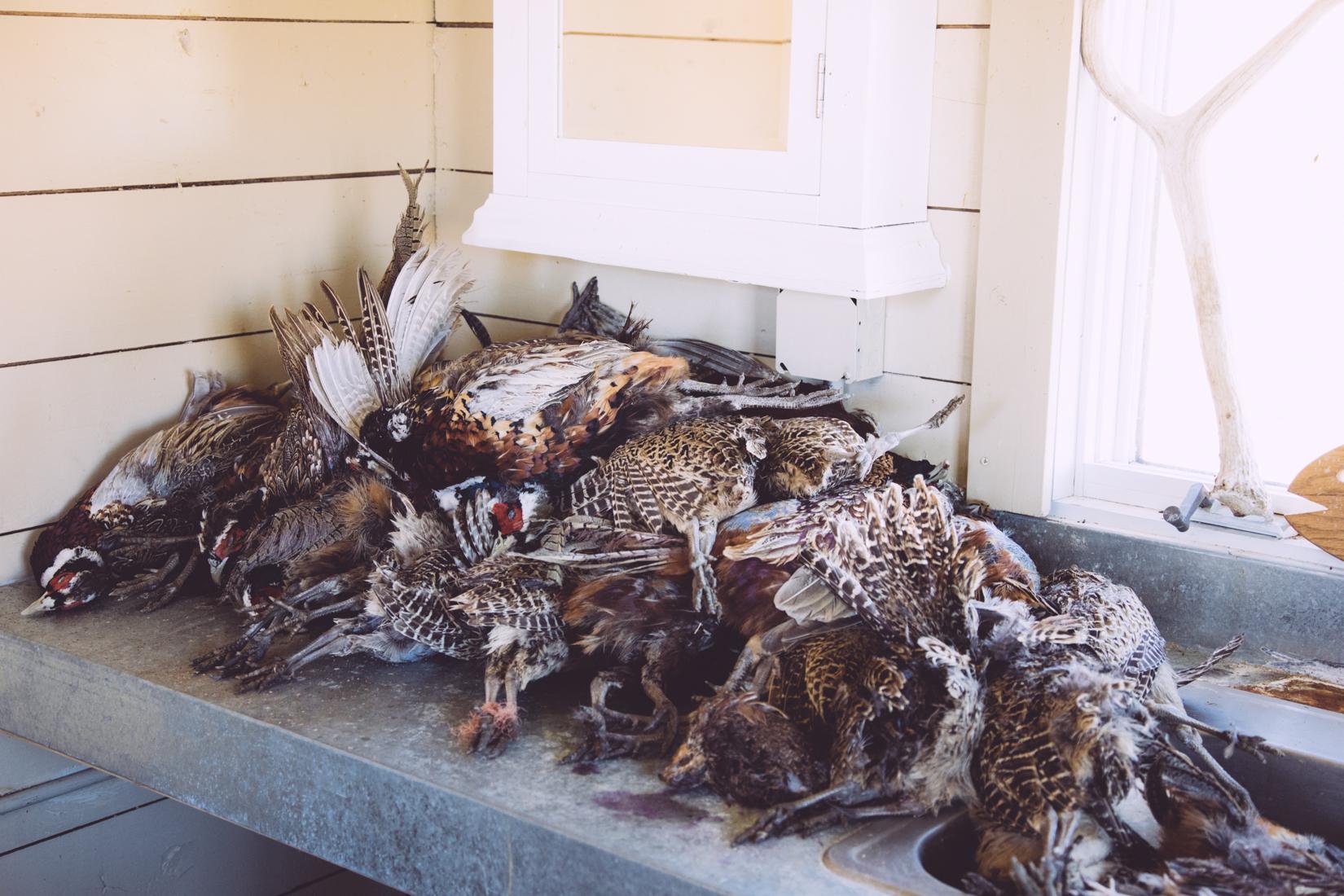Big Day Pheasant Shooting