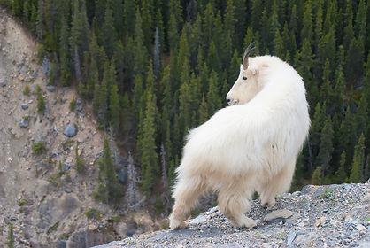 Montana Mountain Goat Hunting Areas