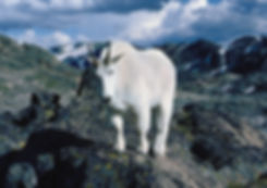 Montain Goats near Yellowstone NAtional Park