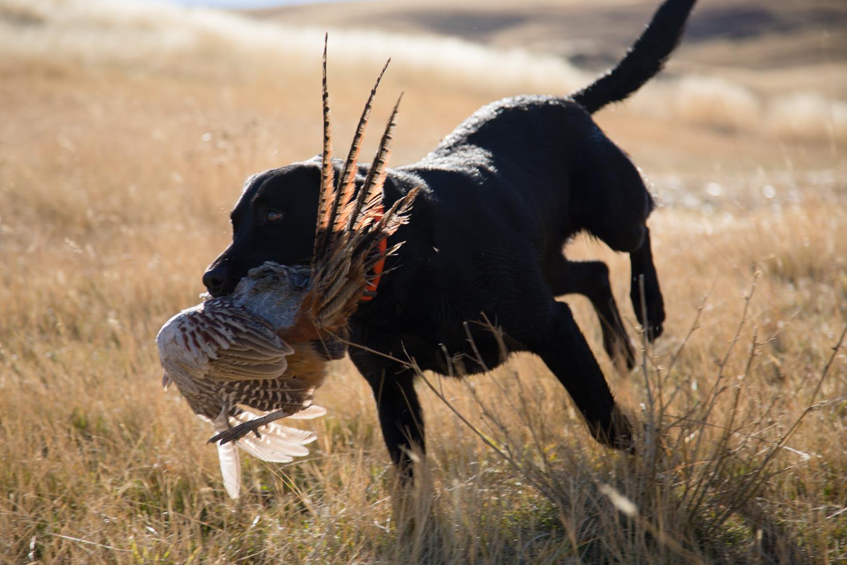 Black Lab Delivers Pheasant