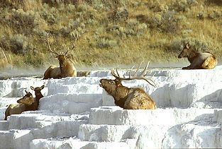 See Elk in Yellowstone National Park