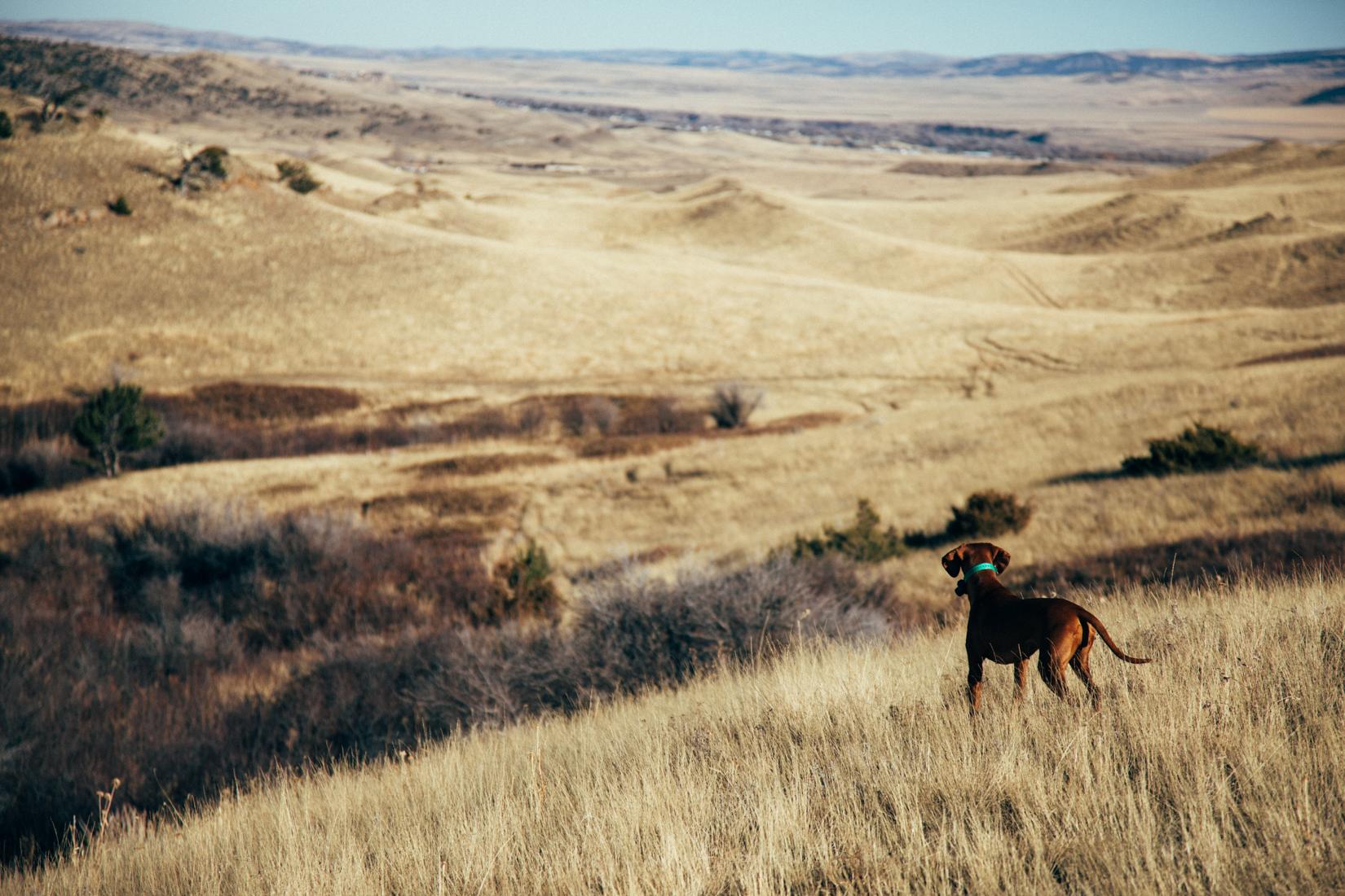 Bird Dog in Montana