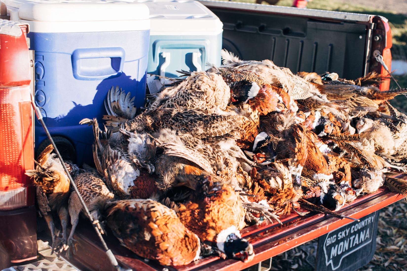 Pheasants galore