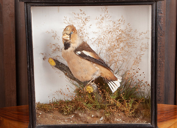 Victorian Cased Taxidermy of a Hawfinch