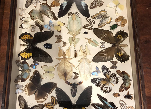Cased Taxidermy Butterflies