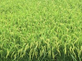 父娘で取り組む新旧おいしい米作り