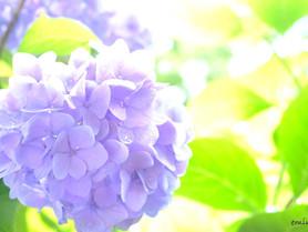 梅雨時に元気を与えてくれる可憐な紫陽花たち