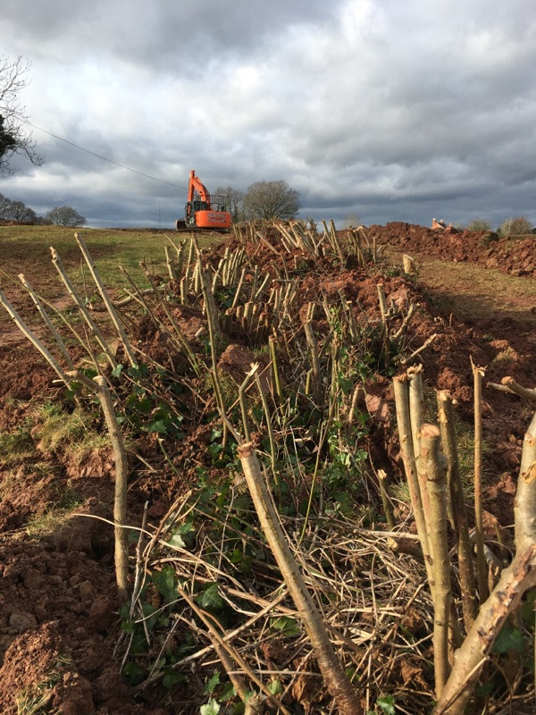 moved translocation of hedge using thirteen ton digger