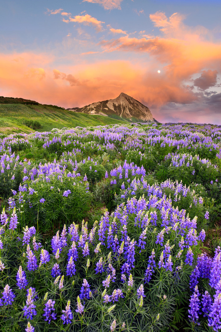 Lupine Moonrise