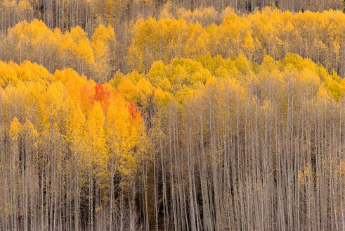 Beckwith Aspens