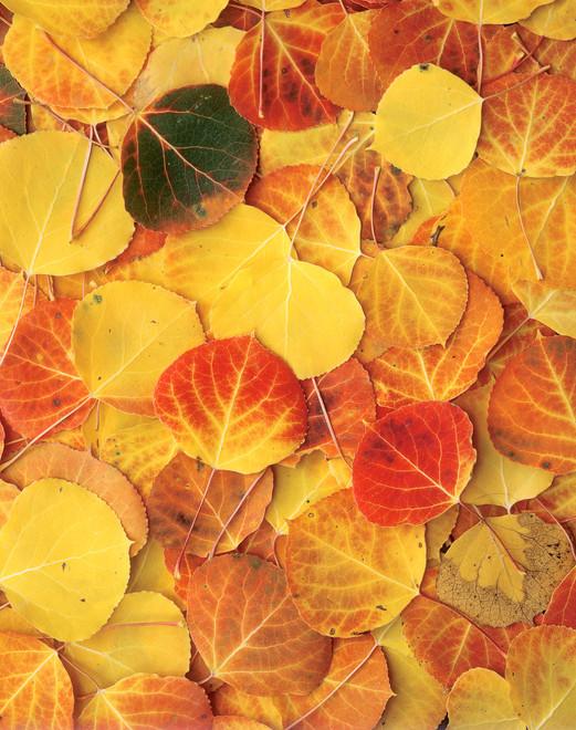 aspen_leaves_810.jpg