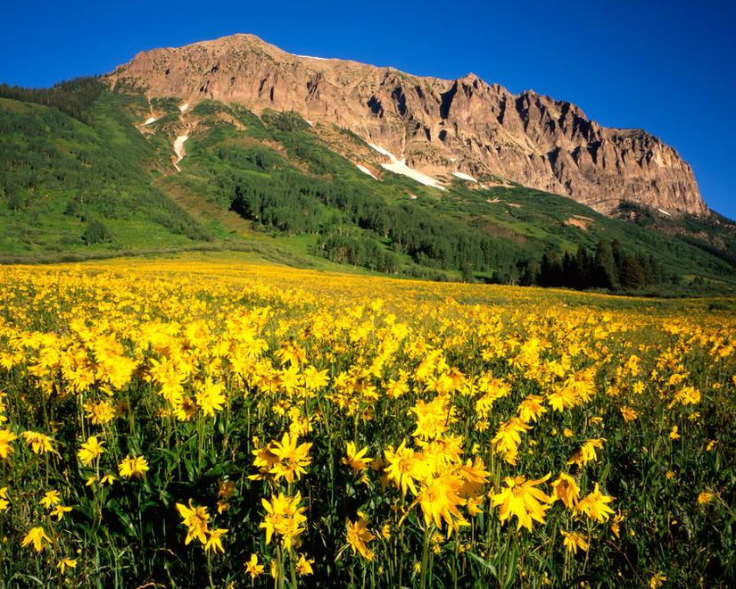 Gothic Sunflowers