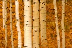 Aspen Tree trunks in fall