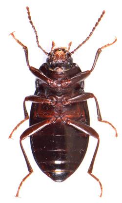 Nalassus laevioctostriatus 3