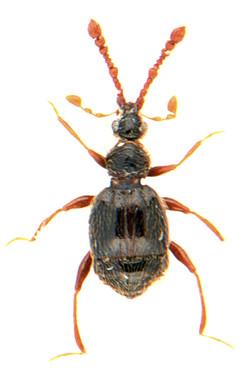 Tychus niger