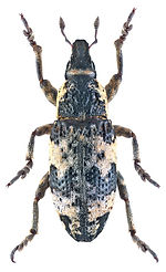 Bothynoderes affinis.jpg