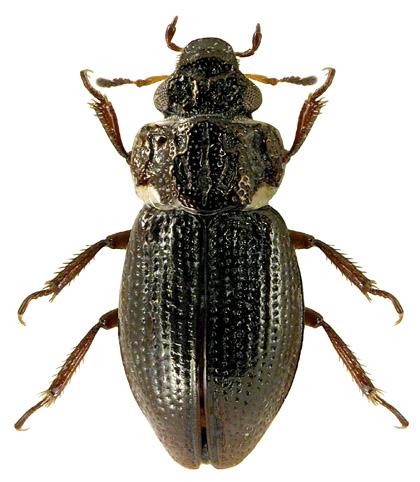 Ochthebius dilatatus 2